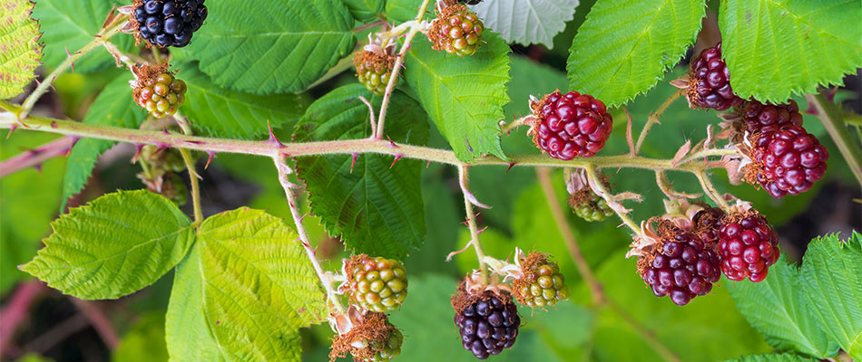 How Invasive Blackberry Can Destroy Your Yard