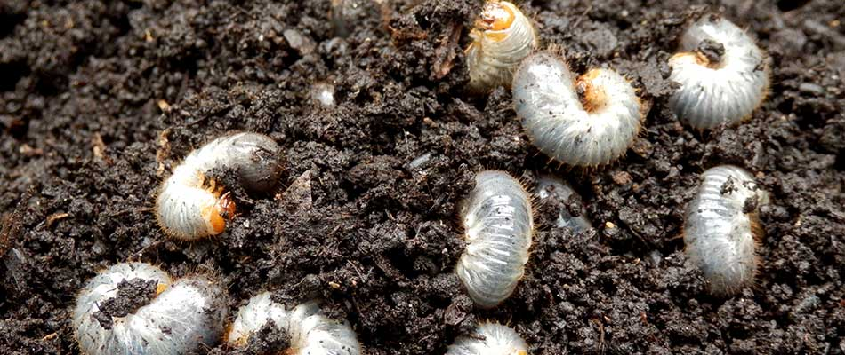 Lawn grubs rolling in dirt in Happy Valley, OR lawn.